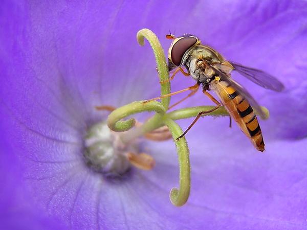 """Pyamazweefvlieg - Op internet heb ik opgezocht hoe het zweefvliegje heete, en het bleek een pyamazweefvlieg te zijn (wat een naam <img  src=""""/images/s"""