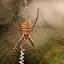 Argiope bruennichi, tijger spin