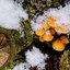 Gewoon fluweelpootje in de sneeuw