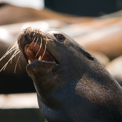 agressieve zeeleeuw