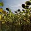 Zonnebloemen -2-
