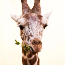 Giraf Kayin