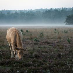 koe op het Leersumse veld