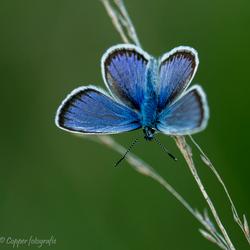 Heideblauwtje ♂