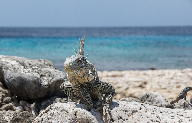 Curiosity - Een nieuwsgierige Leguaan op Bonaire. Door de onscherpe achtergrond en de manier waarop de Leguaan staat lijkt hij uit de foto te komen.