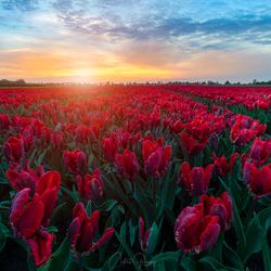 Allien tulips