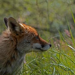 vos in het gras.