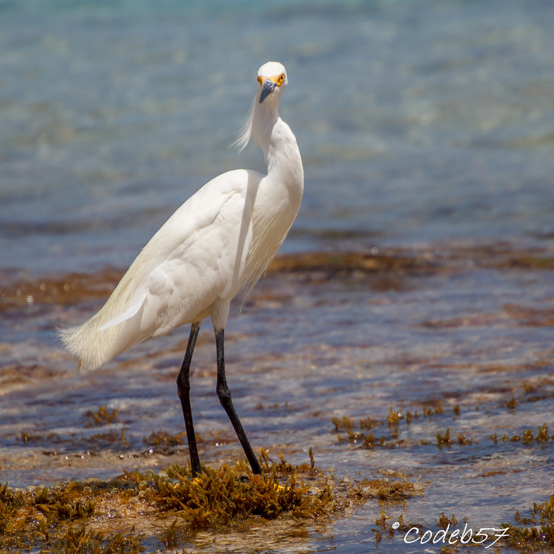 Amerikaanse Kleine Zilverreiger - De vogel is o.a. te vinden in het Caribisch gebied en lijkt erg veel op de zilverreiger bij ons. <br /> In de warme