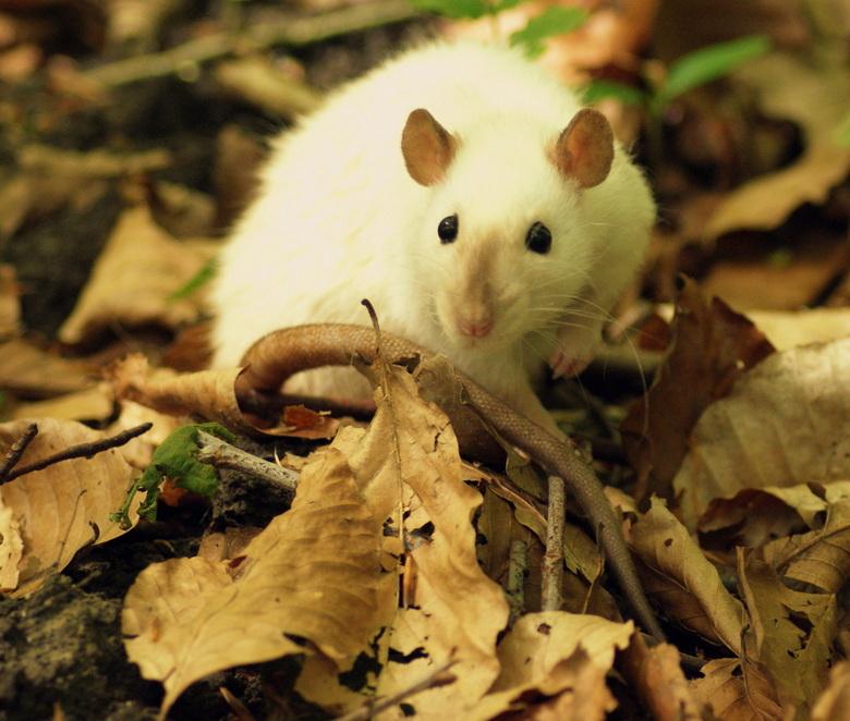 Splinter - Rat tussen de herfstbladeren van het bos