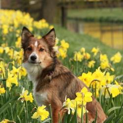 hond tussen de narcissen