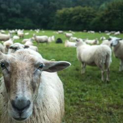Heaps of Sheeps