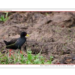 Black Crake, Kenia