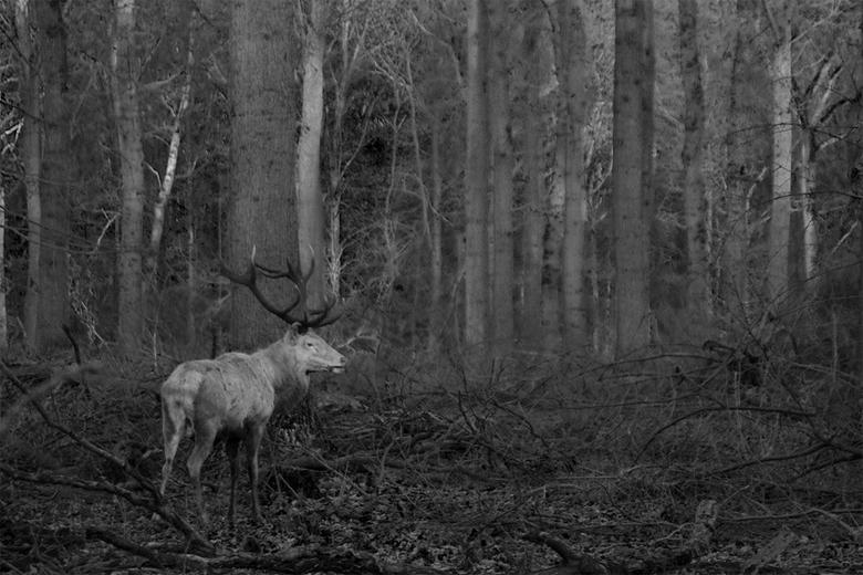 edelhert in het bos - Een blond edelhert loopt in een donker bos.