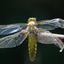 platbuik libelle
