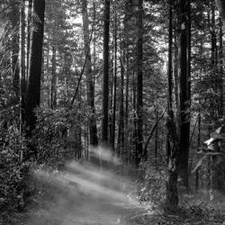 Dusty Redwoods