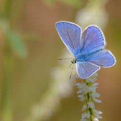 Icarusblauwtje  (man)