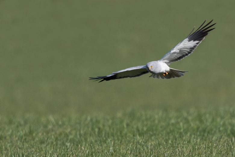 Blauwe kiekendief (man)  - Deze mooie vogel enkele weken terug kunnen fotograferen. <br />