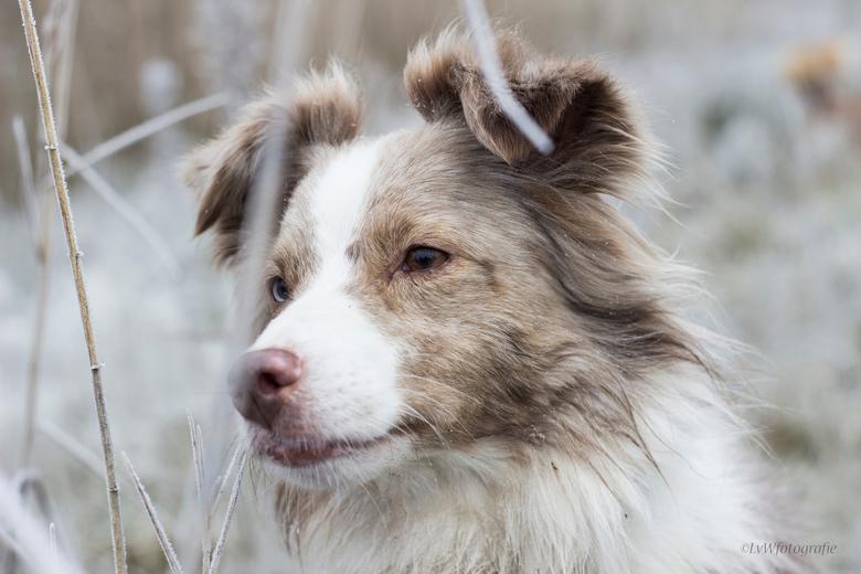 Snowprincess - De blik van een tevreden hond. De mist zit bevroren in haar vacht en mijn vingers waren bevroren, maar wat is het elke keer weer op en