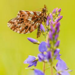Vlinders-8462 L