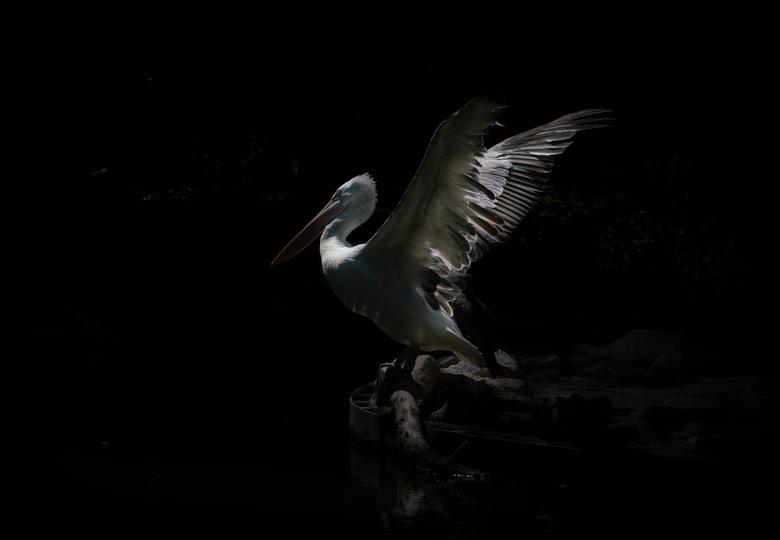 Spooky Wings - Onderbelichte pelikaan in diergaarde Blijdorp Rotterdam, juni 2020.