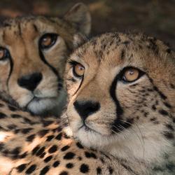 Cheeta's