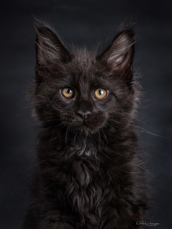 Pelle's Precious Killian Jones - Maine Coon