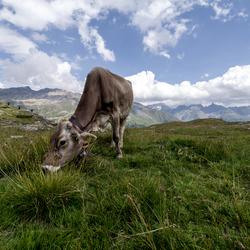 Berg koe
