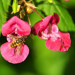 gele vlieg op roze bloem