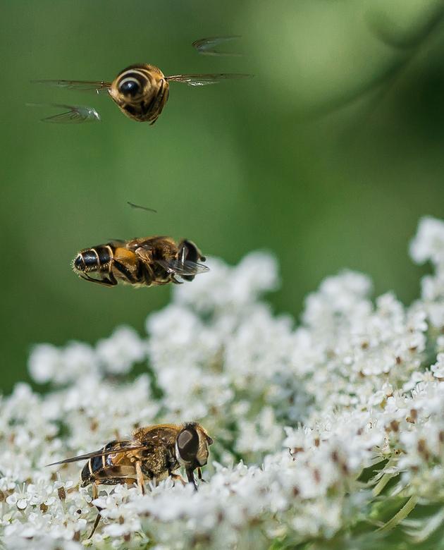 Rolling shutter effect...............blinde bijen(zweefvliegen) - Deze 3 blinde bijen vielen op door het gezoem zo met z'n drietjes boven elkaar