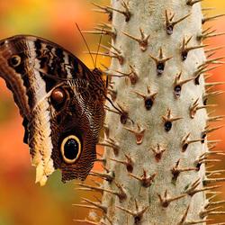 Uilvlinder op een cactus
