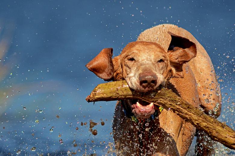 Pinto - Heerlijk door het water rennen met je stok.  Valt niet mee om te gooien en dan snel een foto te maken want voor je het weet staat hij al weer