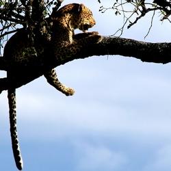 Focused Leopard