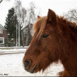 Hoofd pony