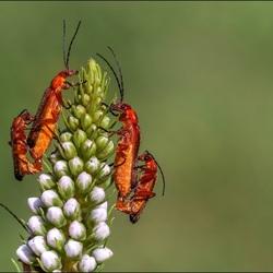 Weekschildkevers.