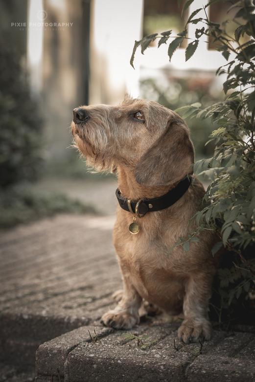 Zeth, het hondenmodel - Mijn eigen ruwhaar teckel Zeth, die model staat voor de productfoto's voor het merk Charming Couture.