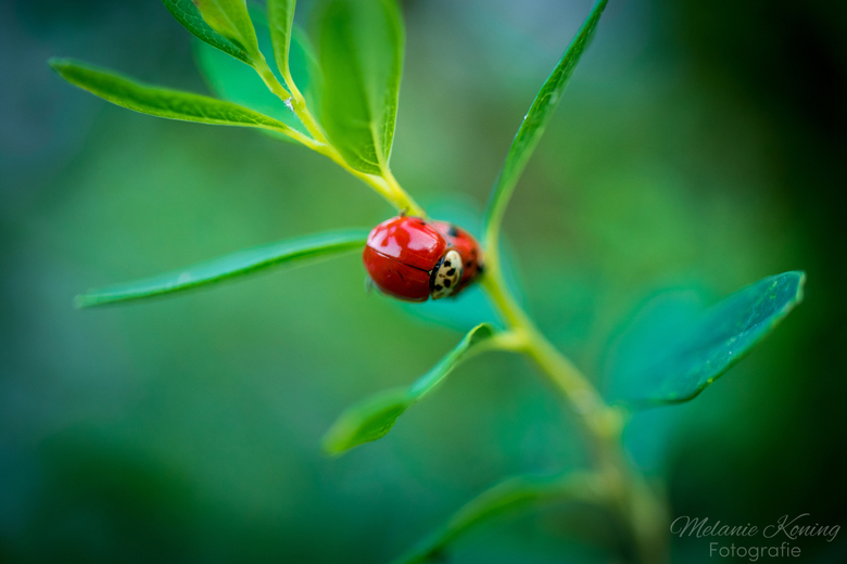 Gezellig paar - Een paar gezellige lieverheersbeestjes op een plant in de tuin