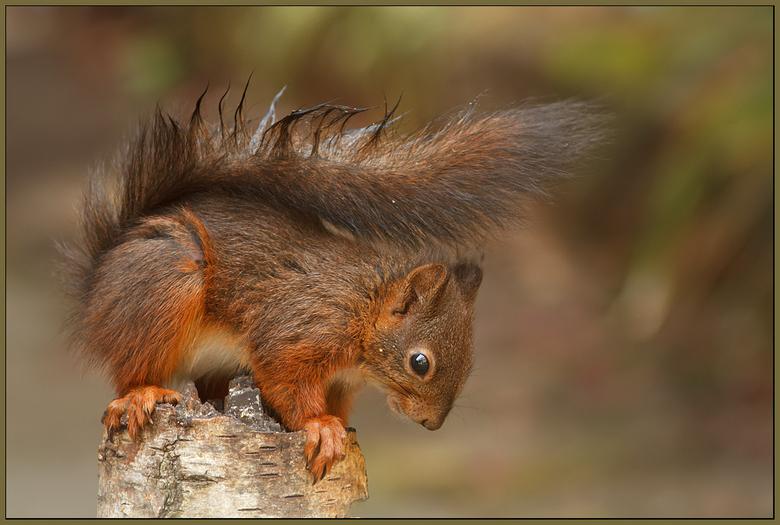 Close to a Squirrel! - Nog eentje van vorig jaar, toen ik 3 Eekhoorns achterthuis had en dat midden in de nieuwbouw.<br /> <br /> Iedereen een fijne