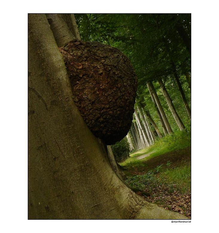 LY - 02 - De tweede bosopname van het Landgoed bij Wezep. <br /> <br /> Deze boom had een hele dikke &quot;puist&quot;. Had er ook enkele gemaakt wa