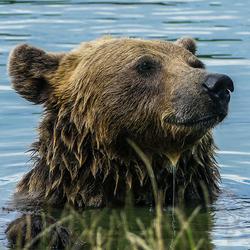 Europese bruine beer / Ursus Actros Actros