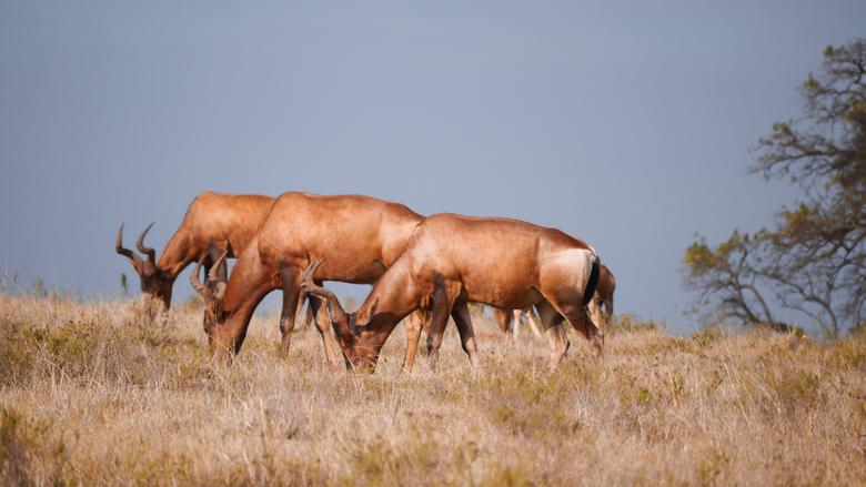 Drie op een rij. - Een foto die ik heb geschoten in Hluhluwe tijdens mijn reis door Zuid Afrika. 3 Hartebeesten op een rij.