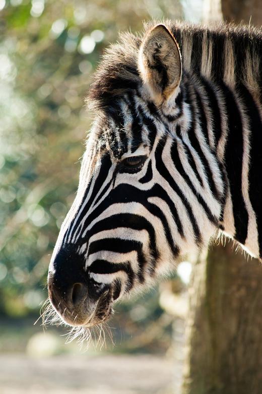 Zebra -