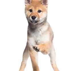 Shiba Inu Puppy door Pet Studio | Hondenfotograaf Sanne Mik
