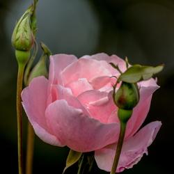 Autumn rose.