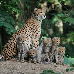 Burgers'Zoo jonge Cheetah's