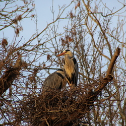 reigers in nest 2
