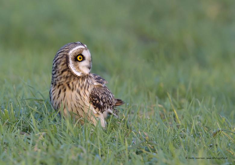 Velduil waakzaam - Als je een Velduil in het veld spot, dan is de vogel erg actief met het draaien van zijn kop. Alle kanten worden in de gaten gehoud