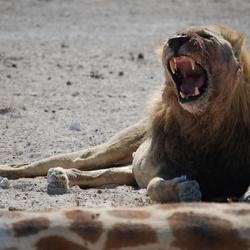 Gewonde Leeuw verdedigd kill giraffe
