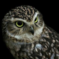 Burrowing Owl, Konijnenuil
