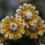 3 gele bloemen met rijp