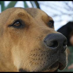 Fila hond